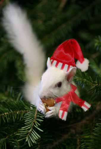 xmas squirrel pic