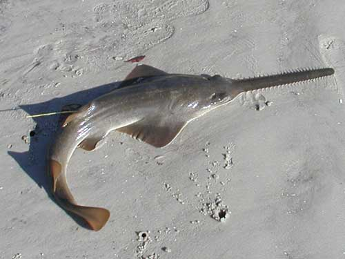 Anna Maria Island News Sawfish Critical Habit Protection