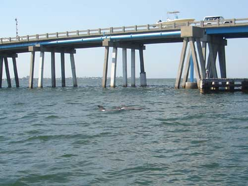ami-bridge_dolphin.jpg