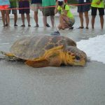 Eliza Ann nests; then tagged, released at Coquina Beach