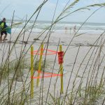 Turtle Watch reacts to stormy conditions, 'surge' in nesting