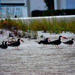 Endangered shorebirds hatch in Holmes Beach