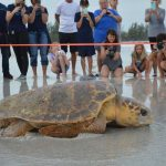 Turtle watch closes in on record-breaking season
