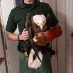 Wildife Inc. rescues bald eagle from Bradenton street
