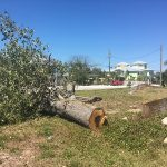 Anna Maria 'grand tree' whacked, city considers more severe penalties