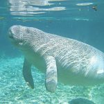 Cold weather deals blow to warm-blooded manatees