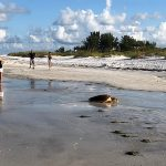 Visitors witness sea turtle nesting in Anna Maria