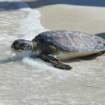 Sea turtle rescued in Boca Grande released on Anna Maria Island