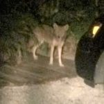 Island sightings of coyotes, reminder for caution