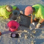 Sea turtle nesting season on AMI pivots to hatch time
