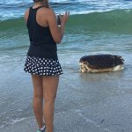 3 sea turtles wash up dead on Anna Maria Island