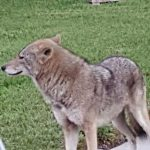 Wildlife rescuers weigh-in on coyotes, fears