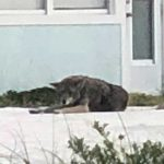 Anna Maria hopes to relocate coyotes, Holmes Beach, too