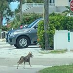 No easy solution for coyote influx