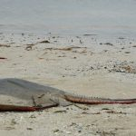 Red tide recedes, again