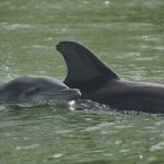 Red tide 'mortality event' strikes Gulf dolphins