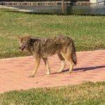 Coyote strolls Marina Drive
