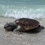 Dead sea turtle honored with poem