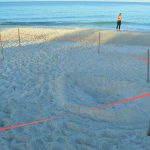 Cheers, discontent accompany first loggerhead nest on AMI