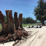 County votes to remove, replace  97 pine trees at Coquina Beach