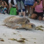 Tagged sea turtle finishes 5th