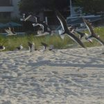 Sparce season for shorebirds on Anna Maria Island