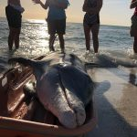 Dead dolphin recovered from Anna Maria beach