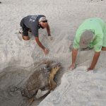 Digging holes, lights shining lead sea turtles to danger