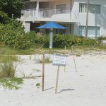 Sea turtle hatching peaks on Anna Maria Island