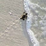 Sea turtles not slowed by Sally, season nearly done