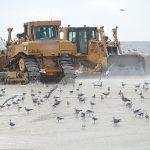 Shorebirds flock to renourished beaches