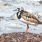 Shorebirds flock to AMI, sea turtles abandon nesting